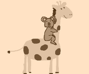 Stupid Koala thinks he's a giraffe jockey.
