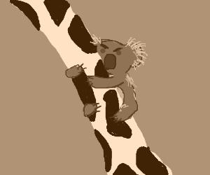 koala climbs disgusted giraffe's neck