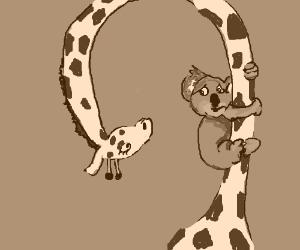 Koala angrily holds on to giraffe's neck.