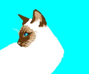 A Siamese cat looks around