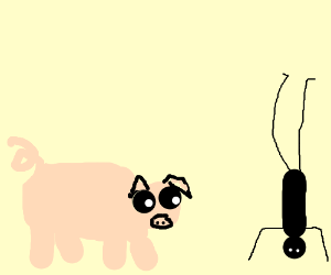 Pig watches a man stand on his head