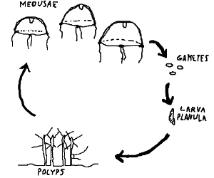 draw the life-cycle of Turritopsis dohrnii