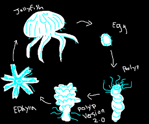 Life cycle of a jelly fish