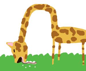 A grazing giraffe.