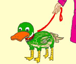 Woman walks a four-legged duck