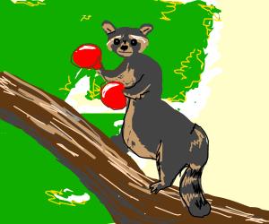 Boxing raccoon