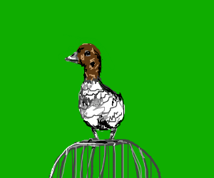 Angry Australian duck on top of a cage.