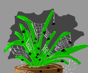 A spider plant with cobwebs