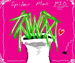 Spider Plant PIO