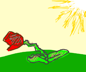 A rose shriveling in the sun