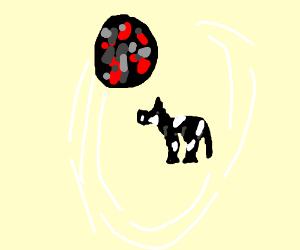 meteor orbids a cow