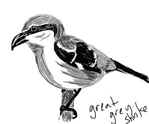 Great grey shrike (it's a bird)