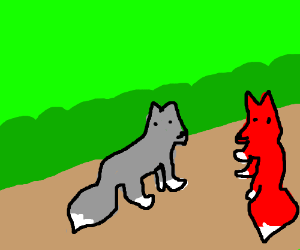 Red and grey fox glances back