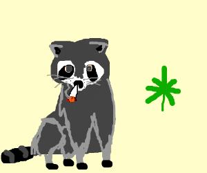 Trash panda (raccoon) smokes weed