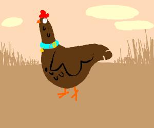 a pet chicken