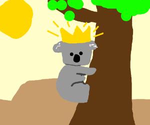 The king koala of Australia