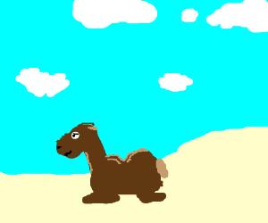 A camel lyin down