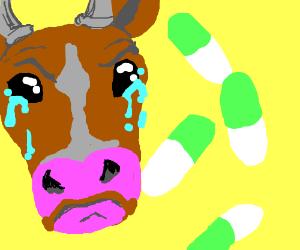 Cow feeling sad over medicine