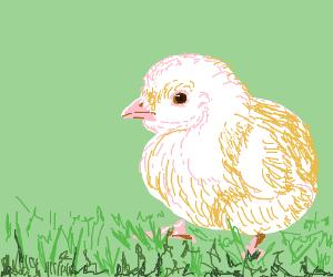 little chicken in a meadow