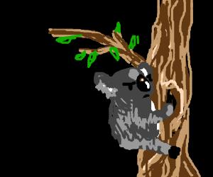 A confused koala bear on a tree