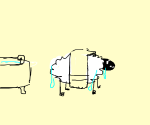 a sheep just bathed