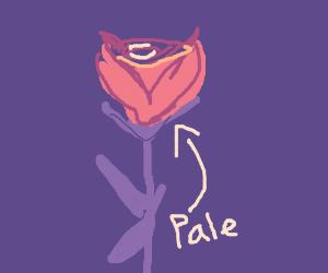 A Single Pale Rose