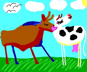 Cow Romance