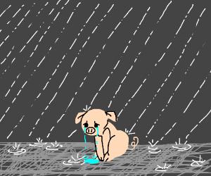 pig in rain is sad